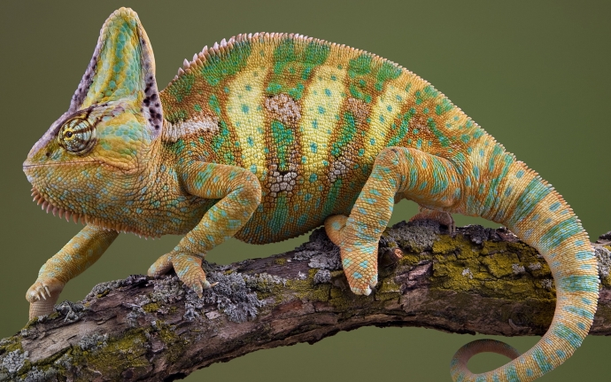 Animals_Reptiles_Chameleon_027204_