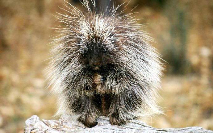 Baby_Porcupine_Exotic_Animals_hd_wallpaper