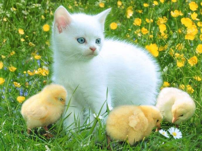 Cute-Cat-and-Baby-Duck-Animal-Wallpapers