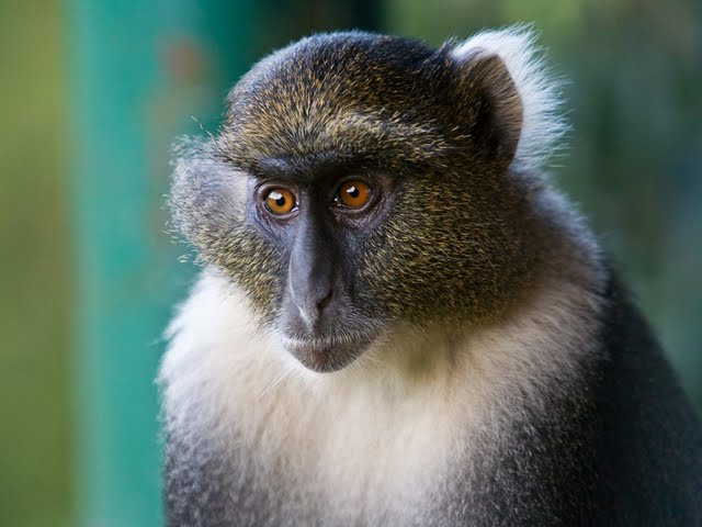 hd-impressive-worldwide-animals-vol01-sykes-monkey-mount-kenya-national-park-kenya-16001200-57164