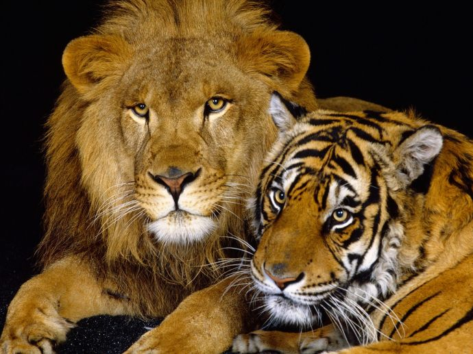 Tiger-and-Lion-animal-desktop-wallpaper