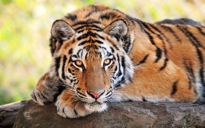 TigerHQPhoto